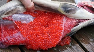 Amazing Salmon Eggs Harvest and Artificial Spawning - Awesome Drops Thousands of Fish Into The River