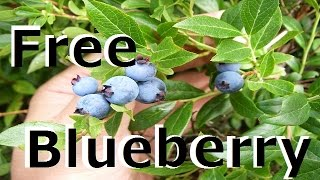 【All you can eat】Free Blueberry Picking in Newfoundland!