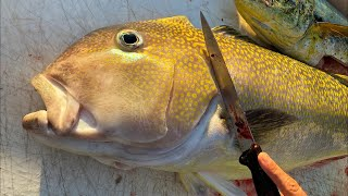 Cleaning GIANT Tilefish