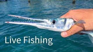 Houndfish and Giant Jacks | Live Fishing