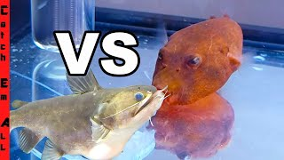 BLOB CATFISH vs RED PUFFER FISH!