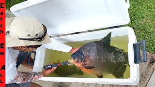 PIRANHA in FLORIDA POND! **TEETH REMOVAL**
