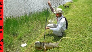 SPEARFISHING for IGUANA CONTROL!